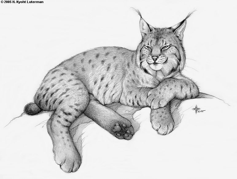 baby bobcat coloring pages - photo #39