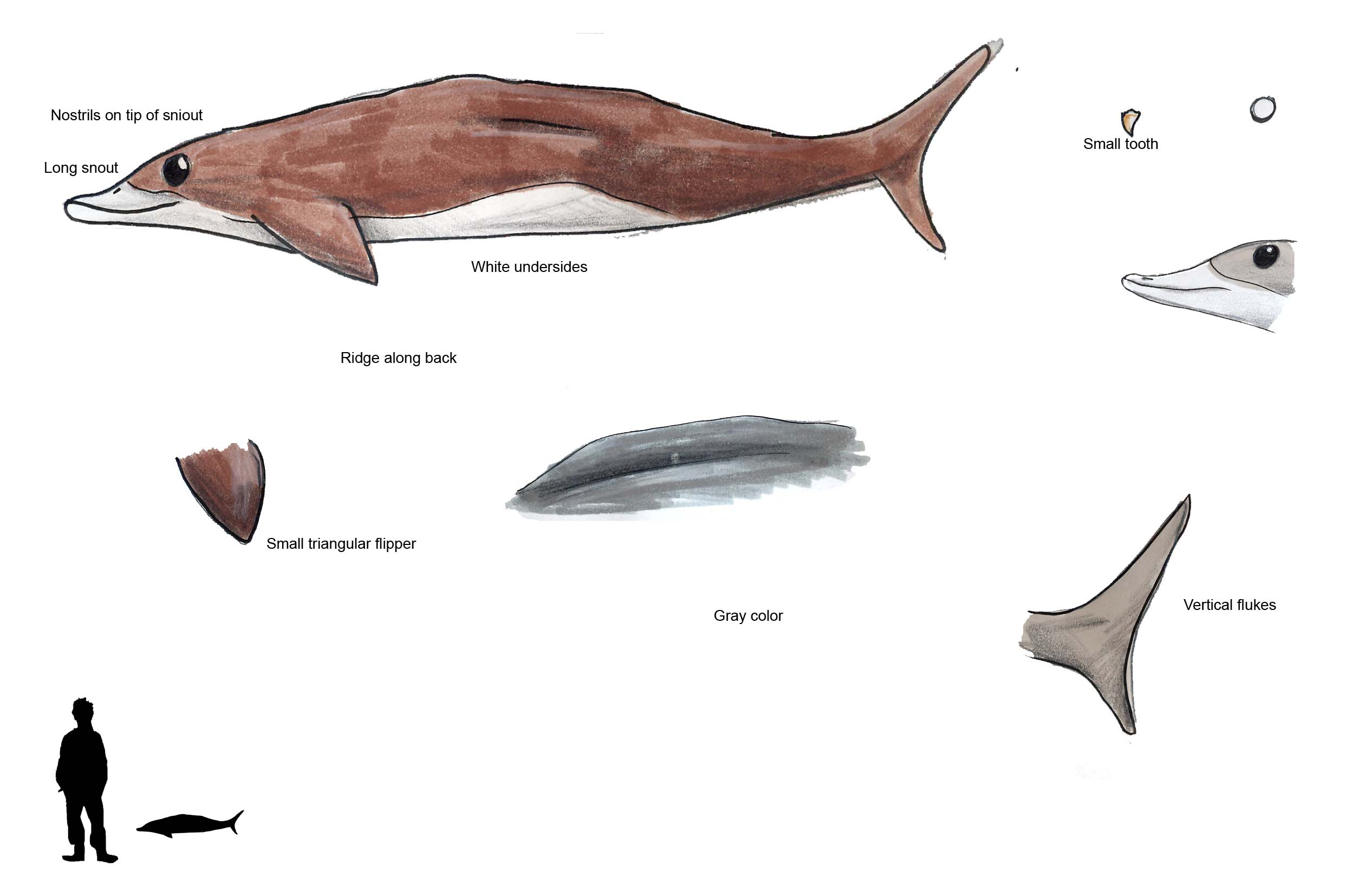 Beautiful Anatomy Of A Blue Whale Images - Anatomy and Physiology ...