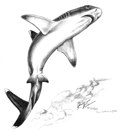 White Tip Reef Shark Drawing Whitetip1s.jpg