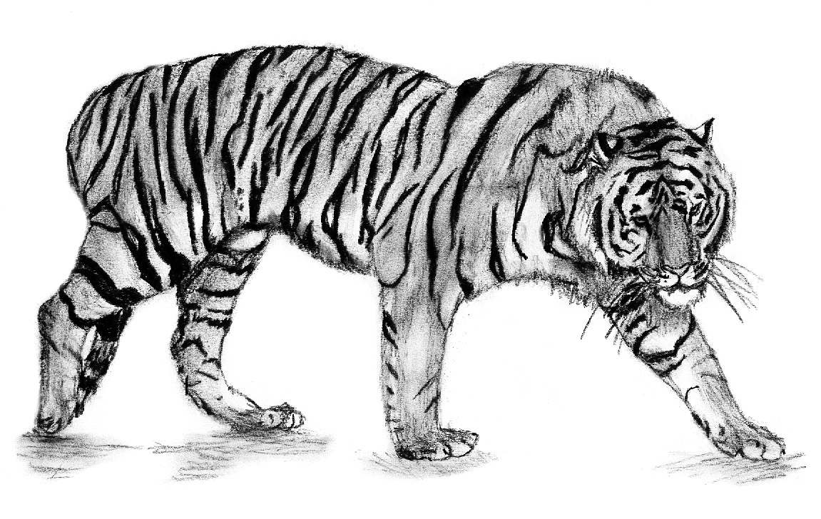 tiger2jpg - Coloring Pages Tigers Realistic